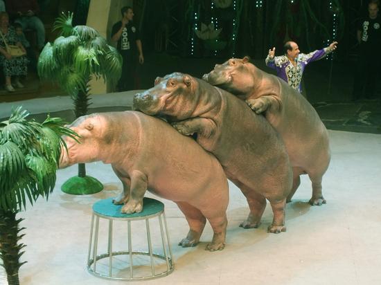 В воронежском цирке выступает единственный в мире дрессировщик бегемотов